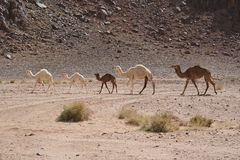 Rare wild white camel family. In Wadi Rum Jordan Royalty Free Stock Image