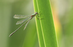 A stunning rare Willow Emerald Damselfly Chalcolestes viridis perched on a reed. Royalty Free Stock Photo
