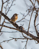 The rare Wryneck Stock Images