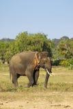 A rare yala tusker Royalty Free Stock Image