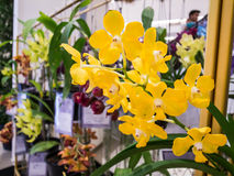 Rare yellow orchids Stock Image