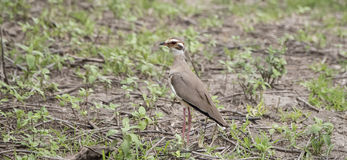 The Rarely Photographed Violet-tipped Courser Rhinoptilus chalcopterus in the Wild Stock Photography