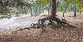 Rarely roots of a Scots Pine Royalty Free Stock Photos