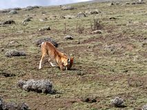 Rarest Canine Beast,Ethiopian wolf,  Canis simensis, Big-headed Hunting African Mole-Rat, Sanetti Plateau, Bale National Park. The Rarest Canine Beast ,Ethiopian royalty free stock images