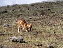 Rarest Canine Beast,Ethiopian wolf,  Canis simensis, Big-headed Hunting African Mole-Rat, Sanetti Plateau, Bale National Park. The Rarest Canine Beast ,Ethiopian royalty free stock image