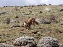 Rarest Canine Beast,Ethiopian wolf,  Canis simensis, Big-headed Hunting African Mole-Rat, Sanetti Plateau, Bale National Park. The Rarest Canine Beast ,Ethiopian royalty free stock photo
