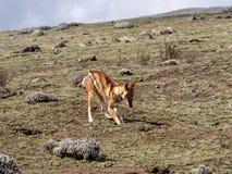 Rarest Canine Beast,Ethiopian wolf, Canis simensis, Big-headed Hunting African Mole-Rat, Sanetti Plateau, Bale National Park. The Rarest Canine Beast,Ethiopian stock photography