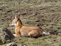 Rarest Canine Beast, Ethiopian wolf, Canis simensis, Sanetti plateau, Bale National Park, Ethiopia. The Rarest Canine Beast, Ethiopian wolf, Canis simensis royalty free stock image