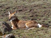 Rarest Canine Beast, Ethiopian wolf, Canis simensis, Sanetti plateau, Bale National Park, Ethiopia. The Rarest Canine Beast, Ethiopian wolf, Canis simensis stock photos