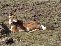 Rarest Canine Beast, Ethiopian wolf, Canis simensis, Sanetti plateau, Bale National Park, Ethiopia. The Rarest Canine Beast, Ethiopian wolf, Canis simensis royalty free stock photos