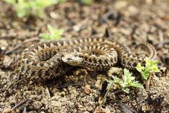 Rarest european snake, the meadow viper royalty free stock photography