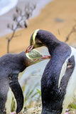 Rarest Yellow-eyed Penguin, megadyptes antipodes, New Zealand, South Islan Royalty Free Stock Images