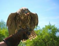 Raroh velky, lat. Falco cherrug, batten on flesh. And sitting on hand royalty free stock photo