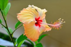 Rarotonga, Cook Islands, Hibiscus Flower, extended stamen. Hibiscus Flower in Rarotonga, Cook Islands, South Pacific region. Extended stamen and Anther stock photos