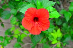 Rarotonga, cozinheiro Islands, flor do hibiscus Fotografia de Stock Royalty Free