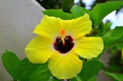 Rarotonga, cuoco Islands, fiore dell'ibisco Immagine Stock Libera da Diritti