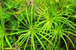Rarotonga, Koch Islands, Hibiscus-Anlagen Stockfotos