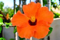 Rarotonga, Koch Islands, Hibiscus-Blume Lizenzfreie Stockfotos