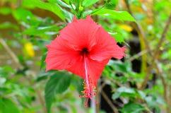 Rarotonga, Koch Islands, Hibiscus-Blume Lizenzfreie Stockbilder