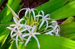 Rarotonga kock Islands, hibiskusblomma Fotografering för Bildbyråer