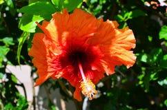Rarotonga kock Islands, hibiskusblomma Arkivbild