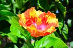 Rarotonga kock Islands, hibiskusblomma Royaltyfri Fotografi