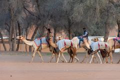 Camel herders walk a group of camels to track royalty free stock photos