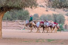 Camel herders walk a group of camels to track stock image