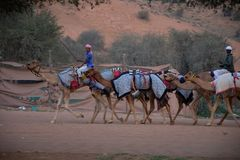 Camel herders walk a group of camels to track stock photography