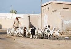 Ras Al Khaimah, United Arab Emirates, 2/02/18/2016, un hombre del árabe shepherds sus cabras a través y el pueblo abandonado en l Imagen de archivo libre de regalías