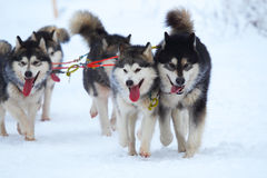 Rasa szkiców psy Zdjęcia Stock