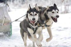 Rasa szkiców psy na śniegu Obraz Stock