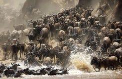 Rasa Wildebeests migruje przez Mara rzekę obraz stock