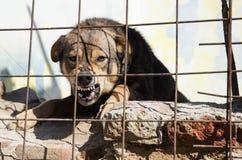 Rasande hund Arkivbild