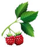 Rasberries frais de tige Image libre de droits