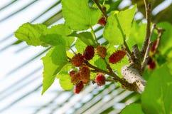 Rasberries rouges sur l'arbre et lumière du soleil sur des feuilles Photographie stock