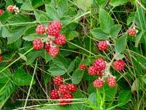 Rasberries selvaggi Immagini Stock Libere da Diritti