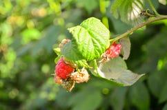 Rasberry Royaltyfria Foton