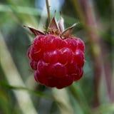 Rasberry Photographie stock