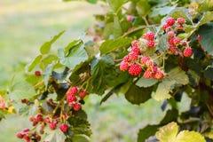 Rasberry pickings Stock Image