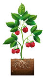 Rasberry planting in the ground. Illustration Stock Images
