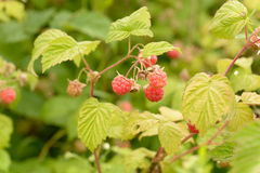 Rasberry Royalty Free Stock Photography
