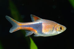 Rasbora fish Stock Photos