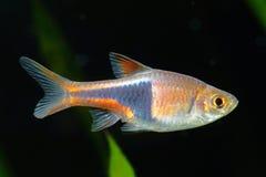 Rasbora ryba Zdjęcia Stock