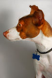 rascal собаки Стоковые Фото