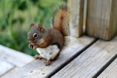 Rascal The Little Red Squirrel Stock Photography