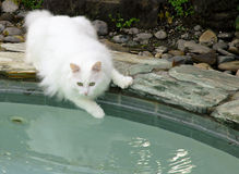 Rascal in AM at Pool royalty free stock image