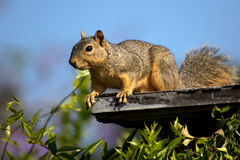 Rascal Rodent Stock Photo