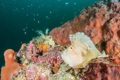 Rascasse de feuille un après-midi sombre foncé sur le récif de Han photographie stock