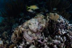 Rascasse repérée en mer des Caraïbes Photo stock